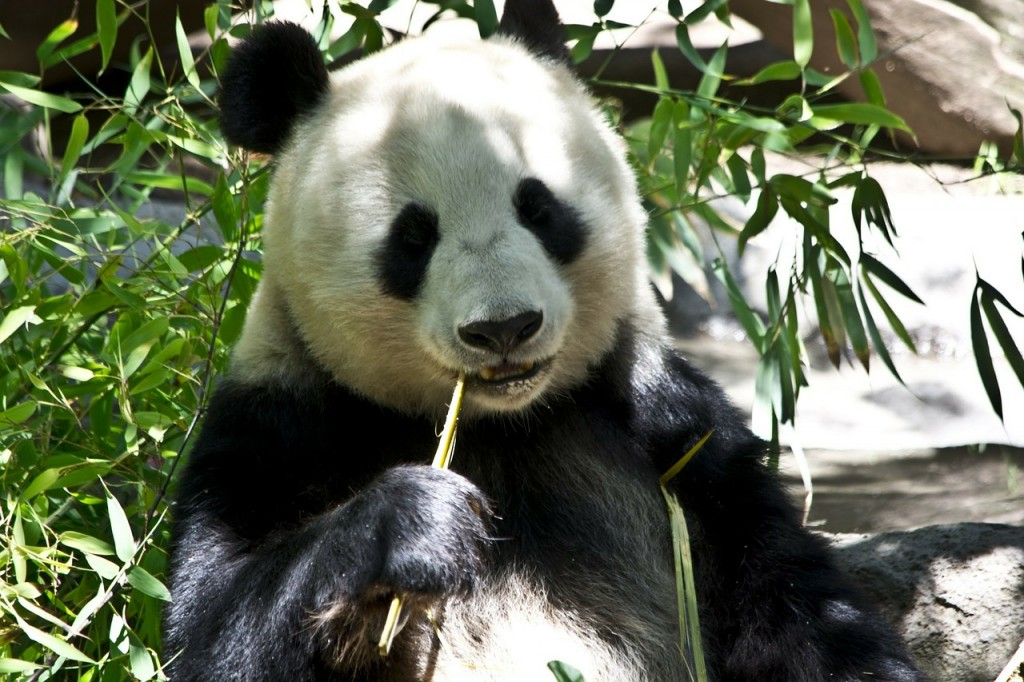 panda-214260_1280
