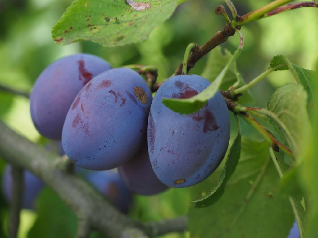 plums-693541_1280