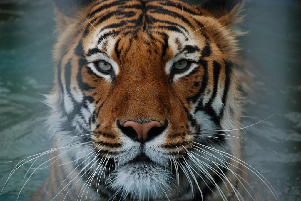 tiger-322924_1280